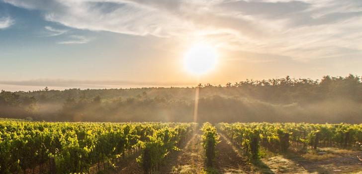vinbuskar i solnedgång